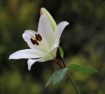 White Lily on a G...