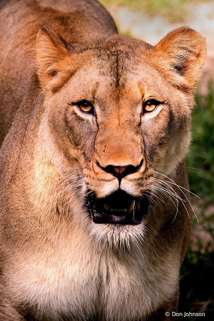 Portrait of a Lioness 6-23-19 147