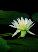 Waterlily among t...