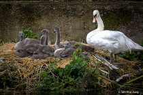 The Mute Swan Family
