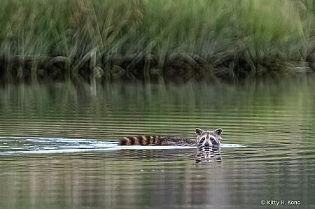 Racoon Crossing