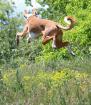 High Flying Hound