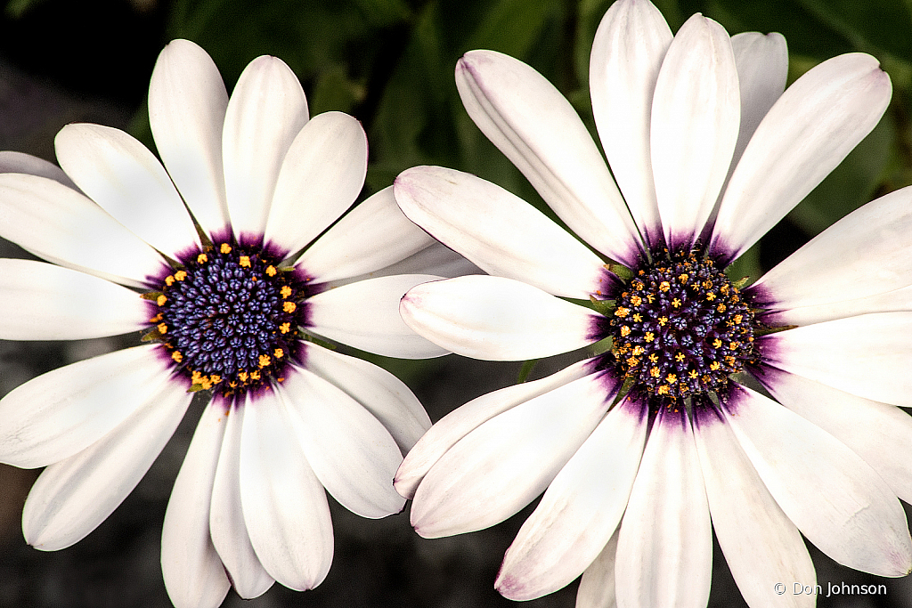 Two African Daisies