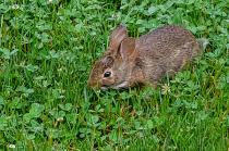 Bunny Loving The Clover!
