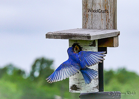 Eastern Bluebird Male Feeding Nestling