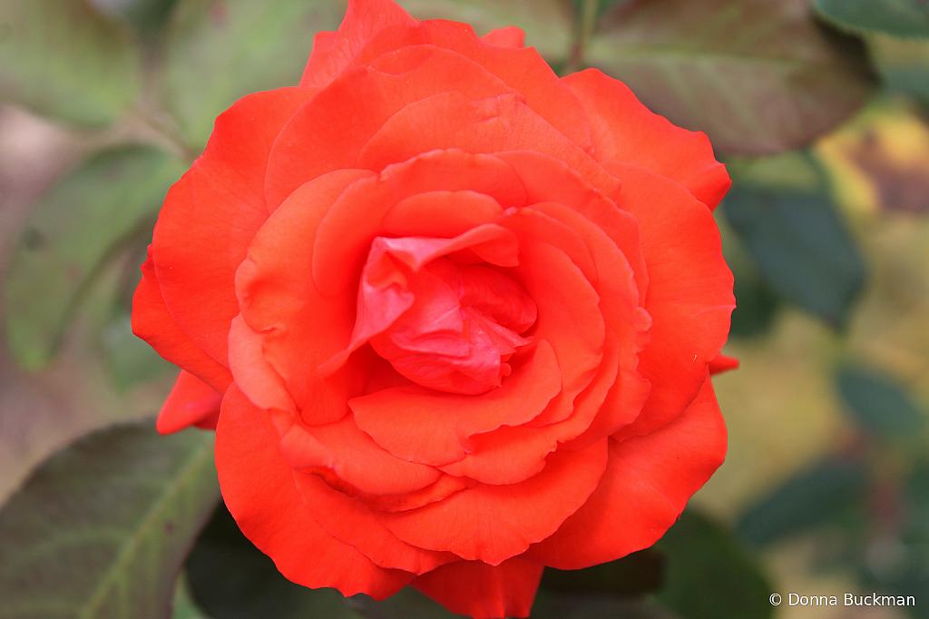My Favorite Rose