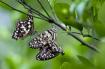 Papilio demoleus(...
