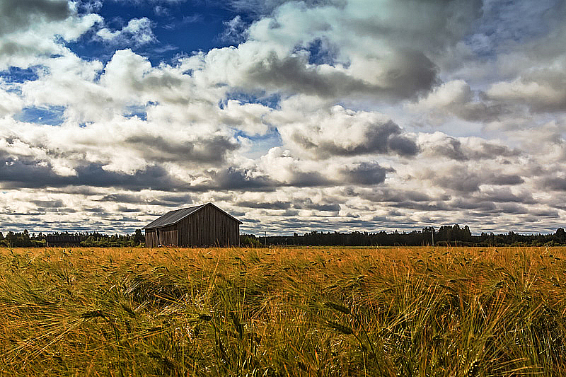 Barn House In The Middle Of The Rye Field