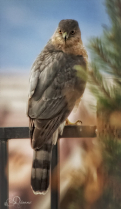 Watchful Hawk