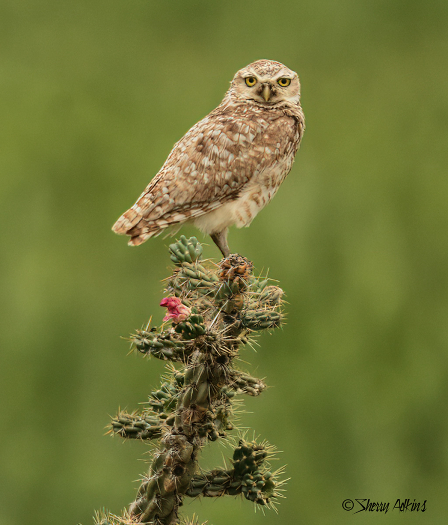 Burrowing Owl on cholla cactus - ID: 15729480 © Sherry Karr Adkins