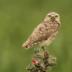 2Burrowing Owl on cholla cactus - ID: 15729480 © Sherry Karr Adkins
