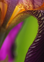 Iris colors and curves #2