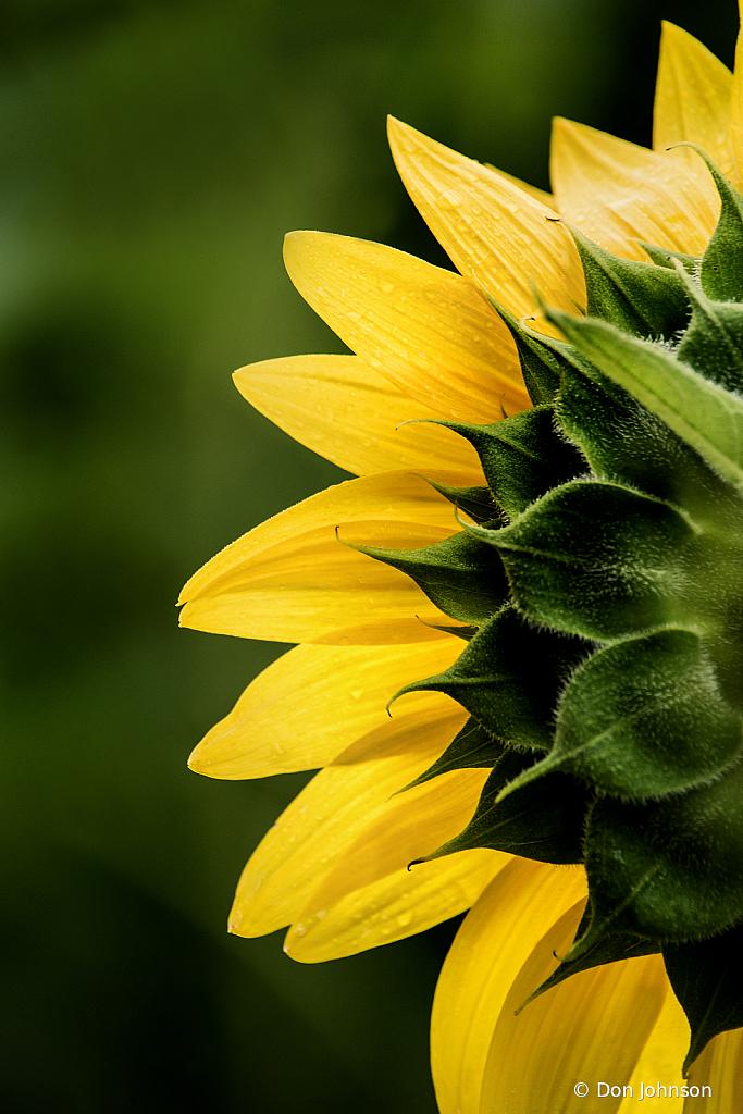 Sunflower Back 3-0 F 7-19 016