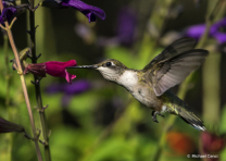 Hummingbird # 15