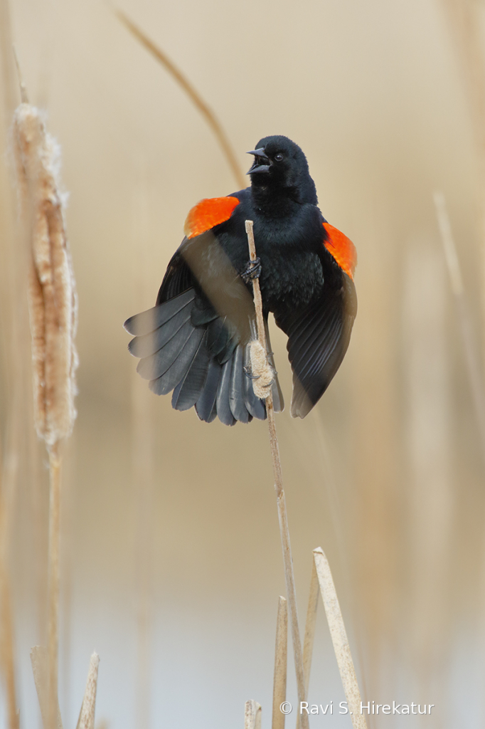 Red Winged Blacbird