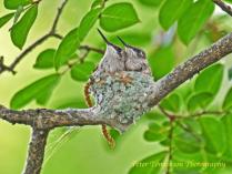 Hummingbird Chicks 2