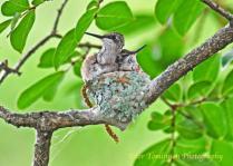 Hummingbird Chicks1
