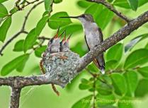 Hummingbird feeding chicks
