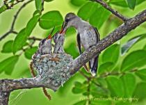 Hummingbird feeding chicks 2