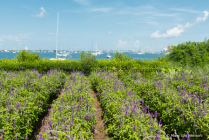 LavenderatSelbyGardens