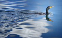 American Cormorant in Cloud Reflections