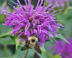 Beebalm and Bumbl...