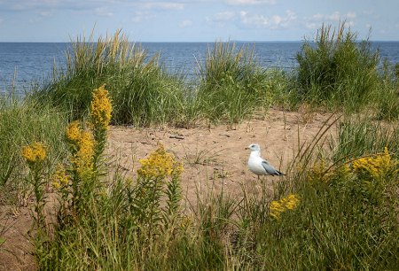 Seagull at the Shore of Red Arrow