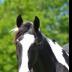 Horse - ID: 15732515 © Rita Jane Smith