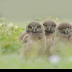 2Three Little Owls - ID: 15732645 © Carol Eade