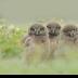 2Three Lil Owls - ID: 15732726 © Carol Eade