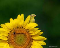 Peek-a-Boo Goldfinch