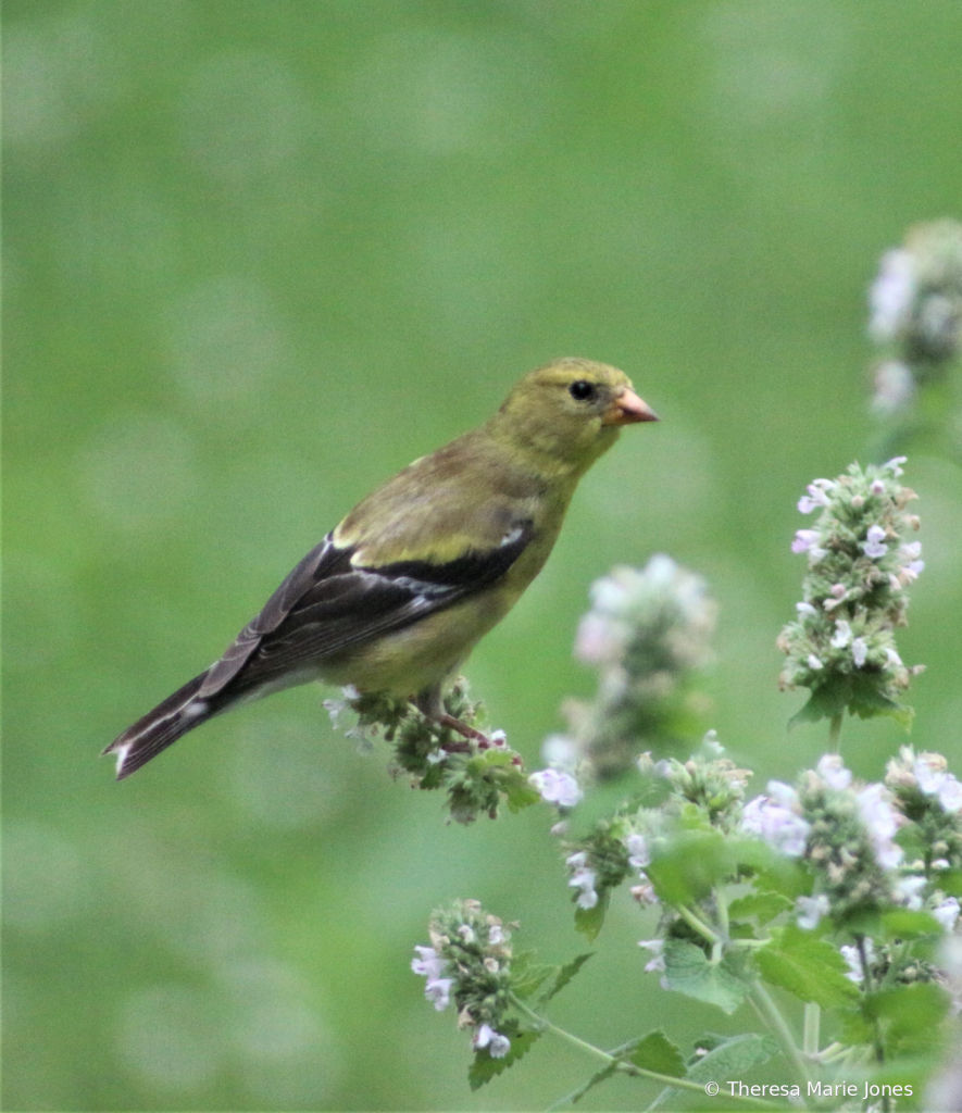 Female Gold Finch