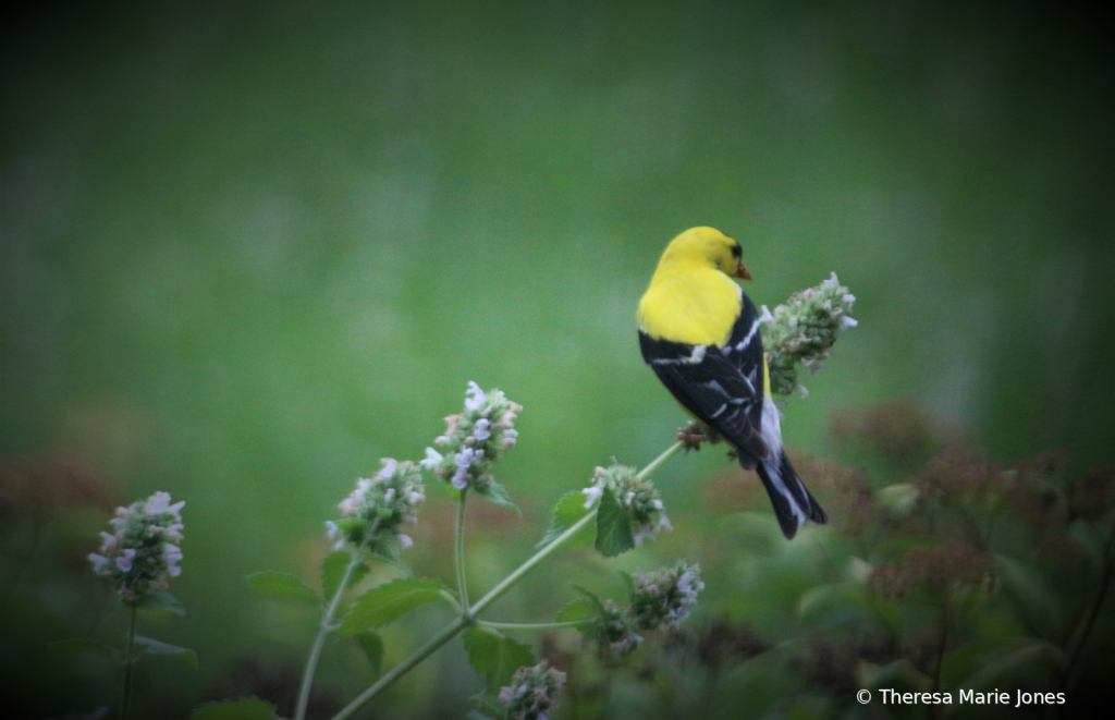 Male Gold Finch
