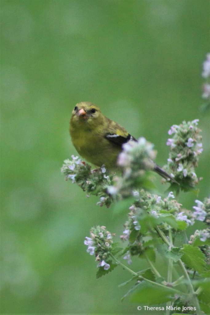 Female Gold Finch on Catnip Flowers