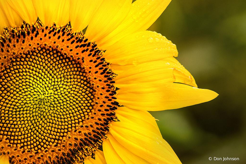 MD Sunflower 7-7-19 235