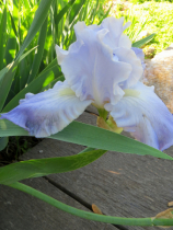 Iris Has The Blues