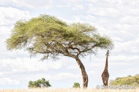 Giraffe and Acacia Tree