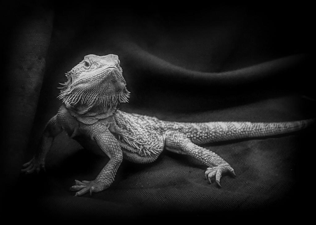 Diva  Dragon