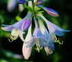 Blooming Hostas
