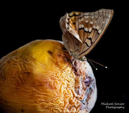 Moth on Old Peach