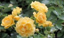 roses for friendship