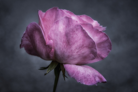 The Rose  0561