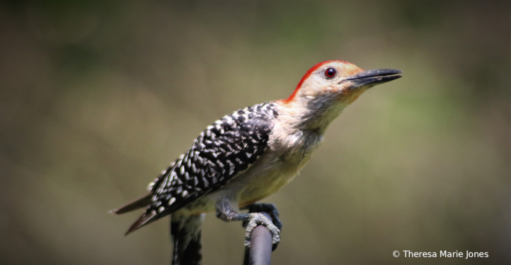 Red-Belly Woodpecker
