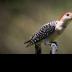 © Theresa Marie Jones PhotoID # 15733805: Red-Belly Woodpecker