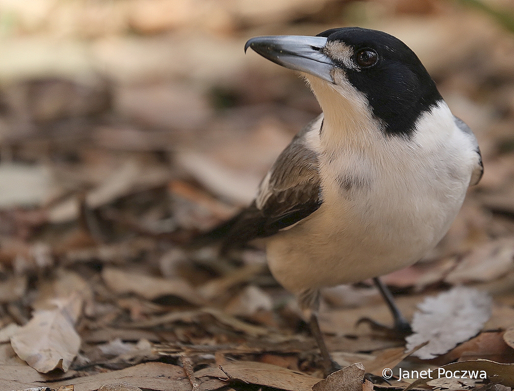 Juvenile Grey Butcherbird