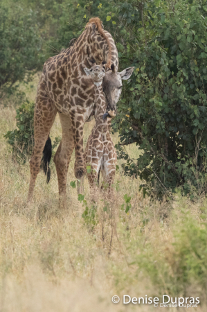 Giraffe1490