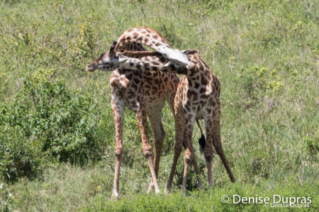 Giraffe3282