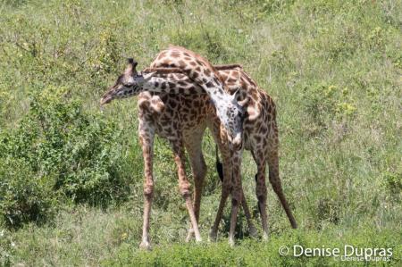 Giraffe3285