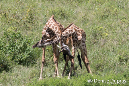 Giraffe3293