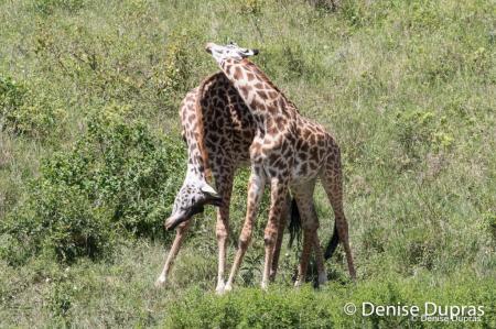 Giraffe3349